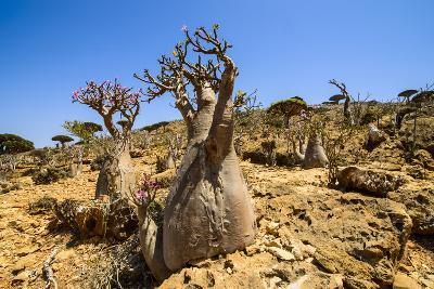 Bottle Trees in Bloom (Adenium Obesum), Endemic Tree of Socotra, Homil Protected Area-Michael Runkel-Photographic Print