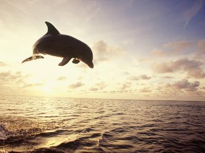 Bottlenose Dolphin Jumping Out of Water-Stuart Westmorland-Photographic Print