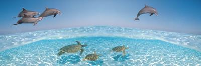 Bottlenose Dolphin Jumping While Turtles Swimming under Water