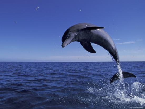 Bottlenose Dolphin Leaping, Bahamas-John Downer-Photographic Print