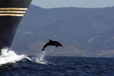 Bottlenose Dolphin Playing--Photographic Print