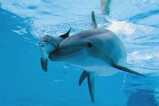 Bottlenose Dolphin Recently Born Calf Swims with Mother-Augusto Leandro Stanzani-Photographic Print