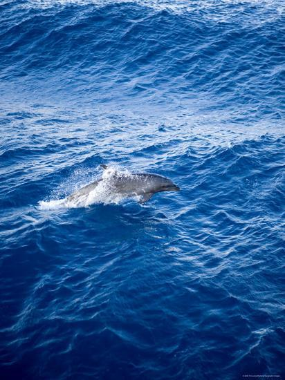 Bottlenose Dolphin Riding the Bow Wave of a Boat, French Polynesia-Tim Laman-Photographic Print
