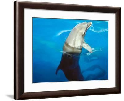 Bottlenose Dolphin Sticking Head Out of Water Surface--Framed Photographic Print