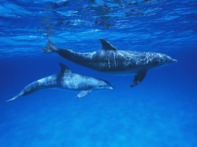 Bottlenose Dolphin (Tursiops Truncatus) Mother and Calf, Gulf of Mexico, Belize-Hiroya Minakuchi/Minden Pictures-Photographic Print