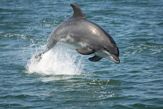 Bottlenose Dolphin (Tursiops Truncatus) Porpoising, Sado Estuary, Portugal-Pedro Narra-Photographic Print