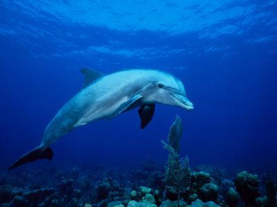 Bottlenose Dolphin, Underwater, Providenciales-Gerard Soury-Photographic Print