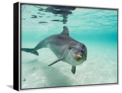 Bottlenose Dolphin-Stuart Westmorland-Framed Canvas Print