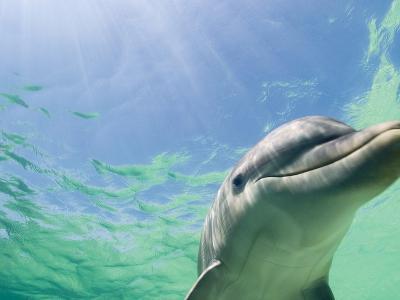 Bottlenose Dolphin-Stuart Westmorland-Photographic Print