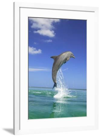 Bottlenose Dolphins, Caribbean Sea, near Roatan, Honduras-Stuart Westmorland-Framed Photographic Print