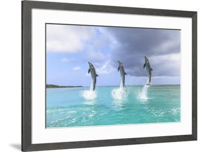 Bottlenose Dolphins, Caribbean Sea, Roatan, Bay Islands, Honduras-Stuart Westmorland-Framed Photographic Print