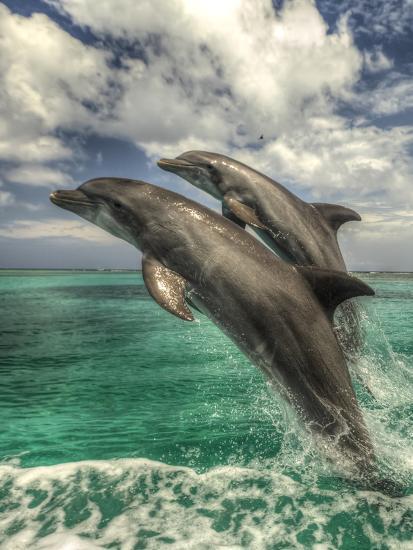 Bottlenose Dolphins, Caribbean Sea, Roatan, Bay Islands, Honduras-Stuart Westmorland-Photographic Print