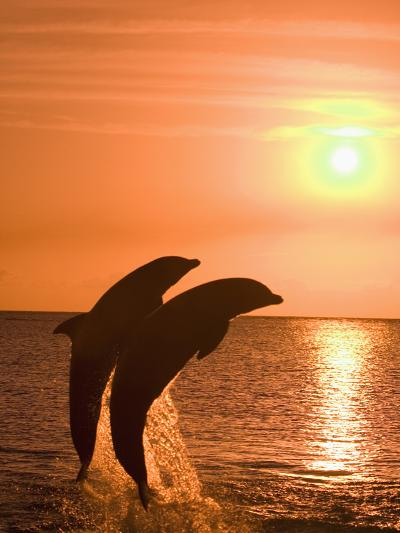 Bottlenose Dolphins, Caribbean Sea-Stuart Westmoreland-Photographic Print