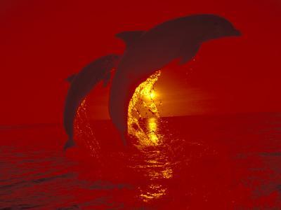 Bottlenose Dolphins, Caribbean-Stuart Westmoreland-Photographic Print