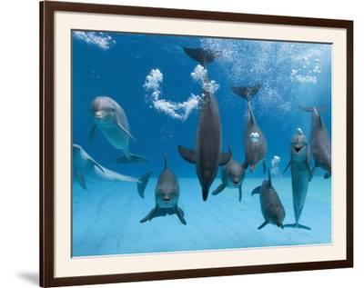 Bottlenose Dolphins Dancing and Blowing Air Underwater-Augusto Leandro Stanzani-Framed Photographic Print