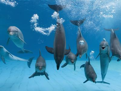 Bottlenose Dolphins Dancing and Blowing Air Underwater-Augusto Leandro Stanzani-Photographic Print