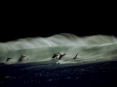 Bottlenose Dolphins, Jumping, South Africa-Tobias Bernhard-Photographic Print