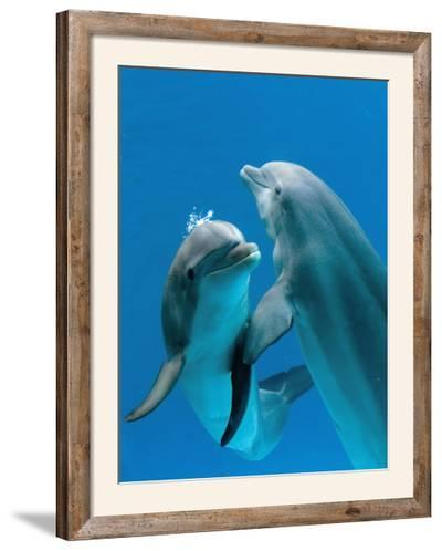 Bottlenose Dolphins, Pair Dancing Underwater-Augusto Leandro Stanzani-Framed Photographic Print