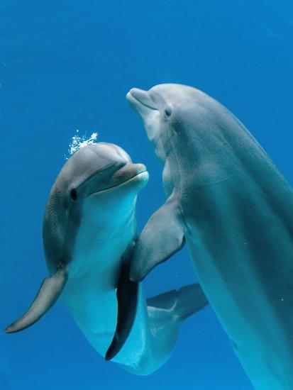 Bottlenose Dolphins, Pair Dancing Underwater Photographic ...