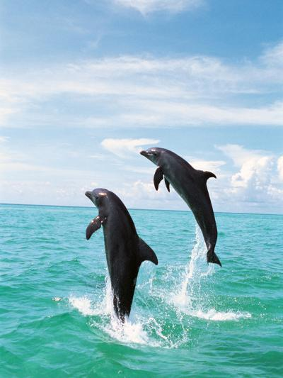 Bottlenose Dolphins Spinning in Water--Photographic Print