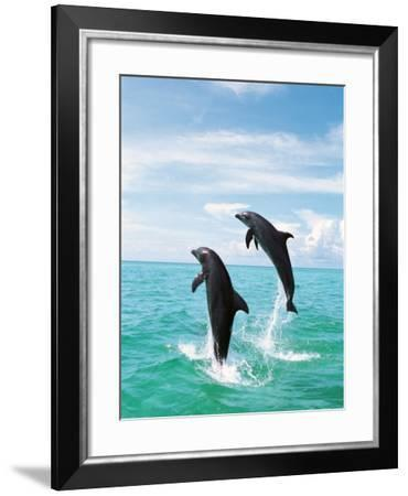 Bottlenose Dolphins Spinning in Water--Framed Photographic Print