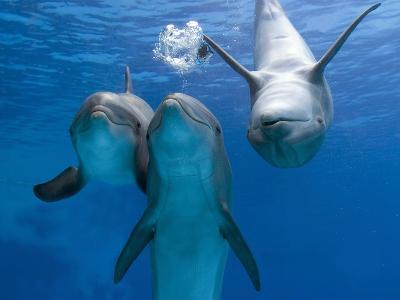Bottlenose Dolphins, Three Playing Underwater-Augusto Leandro Stanzani-Photographic Print