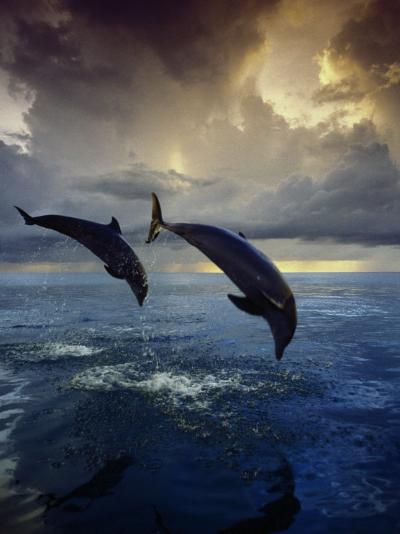Bottlenose Dolphins, Tursiops Truncatus-Stuart Westmorland-Photographic Print