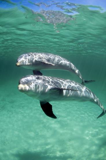 Bottlenose Dolphins-Louise Murray-Photographic Print