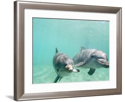 Bottlenose Dolphins-Stuart Westmorland-Framed Photographic Print