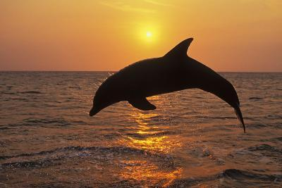 Bottlenosed Dolphin Leaping Out of Water at Sunset--Photographic Print
