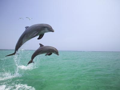 Bottlenosed Dolphins Breaching-Stuart Westmorland-Photographic Print