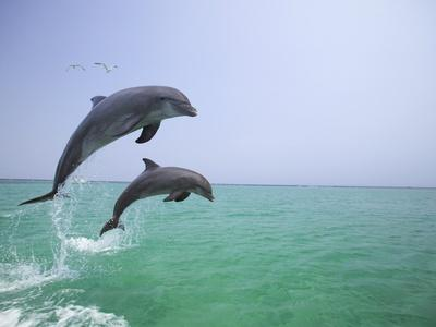 https://imgc.artprintimages.com/img/print/bottlenosed-dolphins-breaching_u-l-pzlsaw0.jpg?p=0