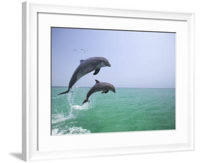 Bottlenosed Dolphins Breaching-Stuart Westmorland-Framed Photographic Print