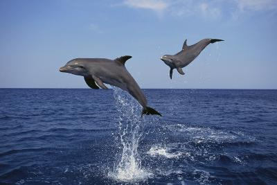 Bottlenosed Dolphins in Caribbean Sea-DLILLC-Photographic Print