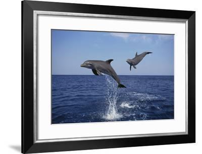 Bottlenosed Dolphins in Caribbean Sea-DLILLC-Framed Photographic Print