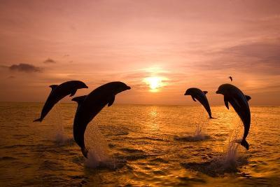 Bottlenosed Dolphins Jumping-Craig Tuttle-Photographic Print
