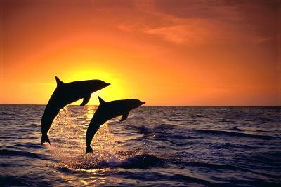 Bottlenosed Dolphins Leaping at Sunset-DLILLC-Photographic Print