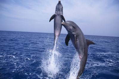 Bottlenosed Dolphins Leaping from Water-DLILLC-Photographic Print