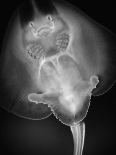 Bottom View of a Stingray-Henry Horenstein-Photographic Print