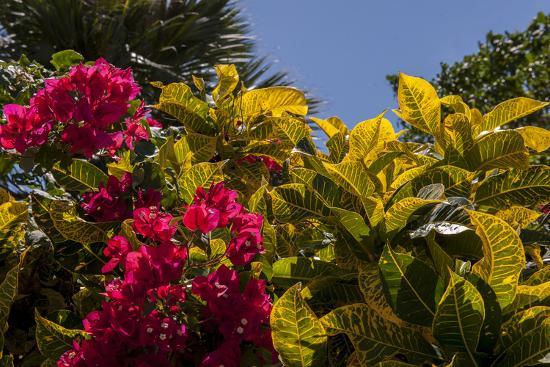 Bougainvillea Flowers, Bavaro, Higuey, Punta Cana, Dominican Republic-Lisa S^ Engelbrecht-Photographic Print