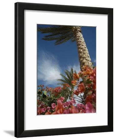 Bougainvillea Flowers Surround a Palm Tree-Richard Nowitz-Framed Photographic Print