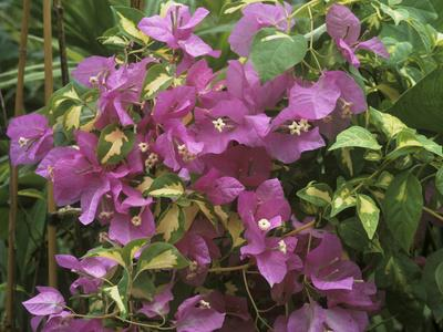 https://imgc.artprintimages.com/img/print/bougainvillea-turkish-delight-close-up-of-flowers_u-l-q10r3x40.jpg?p=0