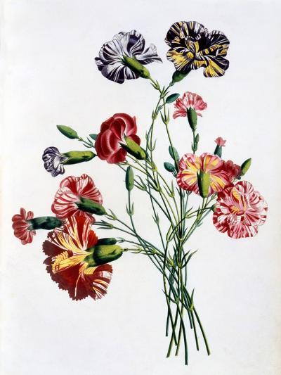 Bouquet of Carnations, from 'Collection Des Fleurs Et Des Fruits D'Apres Nature', Published 1805-Jean-Louis Prevost-Giclee Print