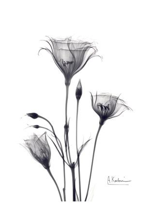 https://imgc.artprintimages.com/img/print/bouquet-of-gentian-in-black-and-white_u-l-f547rl0.jpg?p=0