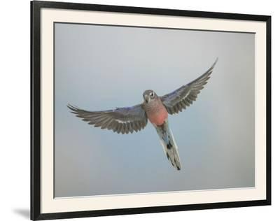 Bourkes Parakeet Male in Flight Front View--Framed Photographic Print