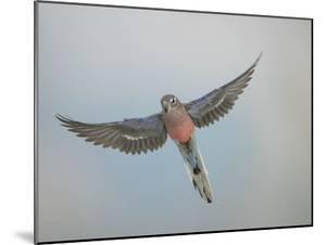 Bourkes Parakeet Male in Flight Front View