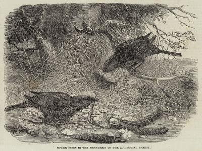 Bower Birds in the Menagerie of the Zoological Society--Giclee Print