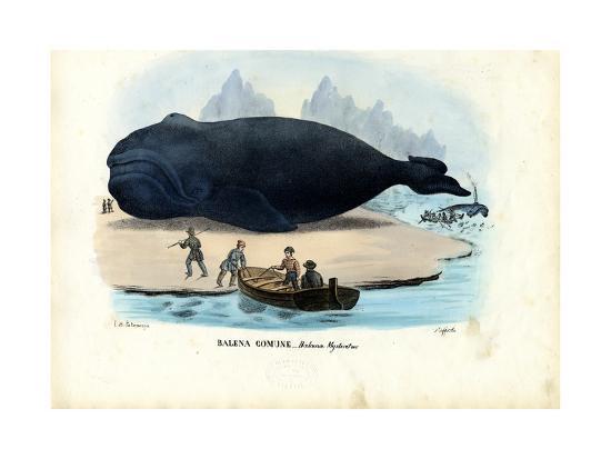 Bowhead Whale, 1863-79-Raimundo Petraroja-Giclee Print