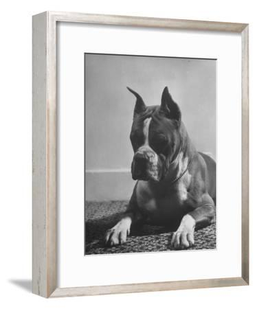 Boxer Bang Away, of Sirrah Crest, Posing for Photograph
