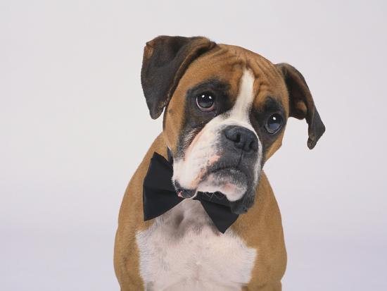 Boxer in a Bow Tie-DLILLC-Photographic Print